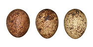 Kestrel - Falco tinnunculus - eggs