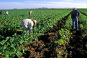 MEXICO, AGRICULTURE, SINALOA STATE farm workers with crops of winter produce on rich Pacific coastal plain near Los Mochis