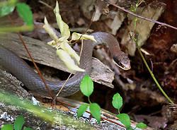 05 June 2014. Jean Lafitte National Historic Park, Louisiana.<br /> A plain bellied water snake.<br /> Charlie Varley/varleypix.com