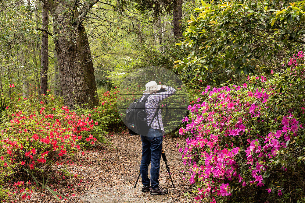 A photographer take pictures of the azaleas blooming along the edge of blackwater bald cypress and tupelo swamp during spring at Cypress Gardens April 9, 2014 in Moncks Corner, South Carolina.