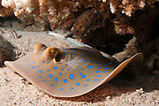 The bluespotted ribbontail ray (Taeniura lymma) is a species of stingray in the family Dasyatidae. Found from the intertidal zone to a depth of 30 m (100 ft), this species is common throughout the tropical Indian and western Pacific Oceans in nearshore, coral reef-associated habitats. It is a fairly small ray, not exceeding 35 cm (14 in) in width, with a mostly smooth, oval pectoral fin disc, large protruding eyes, and a relatively short and thick tail with a deep fin fold underneath. It can be easily identified by its striking color pattern of many electric blue spots on a yellowish background, with a pair of blue stripes on the tail...At night, small groups of bluespotted ribbontail rays follow the rising tide onto sandy flats to root for small benthic invertebrates and bony fishes in the sediment. When the tide recedes, the rays separate and withdraw to shelters on the reef. Reproduction is aplacental viviparous, with females giving birth to litters of up to seven young. This ray is capable of injuring humans with its venomous tail spines, though it prefers to flee if threatened. Because of its beauty and size, the bluespotted ribbontail ray is popular with private aquarists despite being poorly suited to captivity. The International Union for Conservation of Nature (IUCN) has listed this species as Near Threatened, as it faces widespread habitat degradation and intensive fishing pressure throughout its range. Photographed in the Red Sea Israel