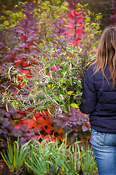Pruning a buddleia in autumn - carrying away pruned material