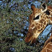 Giraffe, (Giraffa camelopardalis) Feeding on acacia tree. Kenya, Africa.