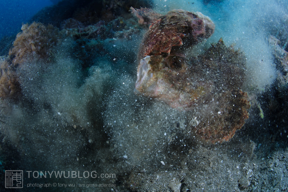 Two large tassled scorpionfish (Scorpaenopsis oxycephala) engaged in a territorial dispute. The two fish stared at one another and made gestures of intimidation for a few minutes prior to this sudden conflict, which ended as quickly as it commenced. Ambon, Indonesia