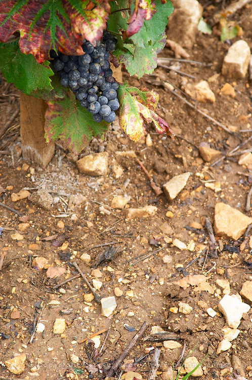 Soil detail. Stony. Sand. Calcareous. Bunches of ripe grapes. Domaine Philippe Livera, Gevrey Chambertin, Cote de Nuits, d'Or, Burgundy, France