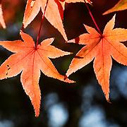 Orange momiji Japanese maple leaves during autumn at Kita no Tenman-gu in Kyoto, Japan