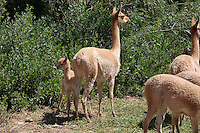VICUNAS (Vicugna vicugna) EN UN CRIADERO, MADRE Y CHULENGO, UQUIA, QUEBRADA DE HUMAHUACA, PROV. DE JUJUY, ARGENTINA<br /> <br /> Vigogne (Vicugna vicugna), femmina mentre mangia e cucciolo in un allevamento, Argentina