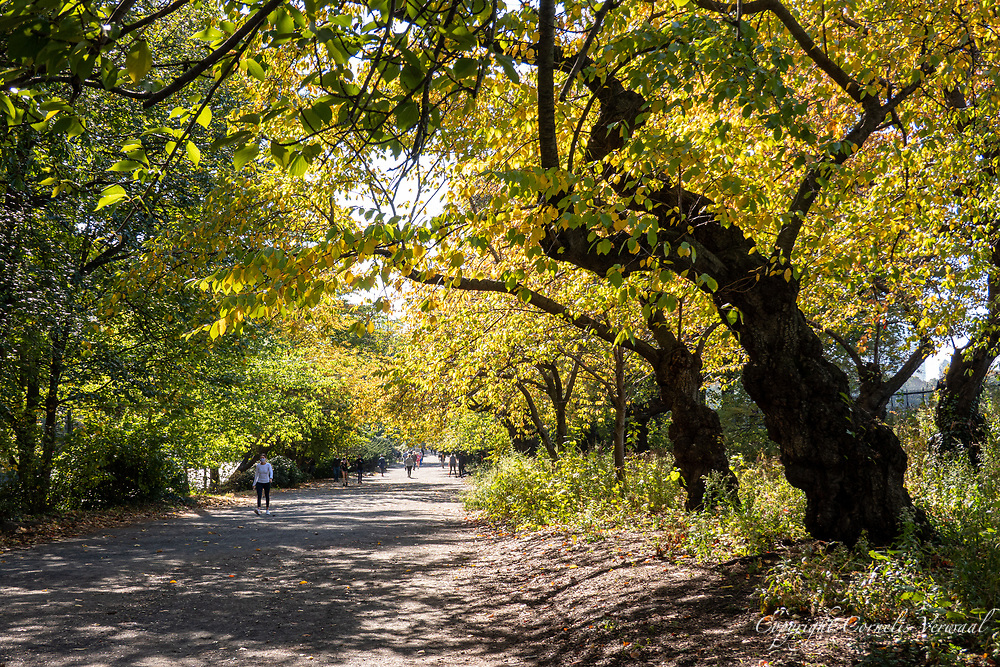 Cherry trees along the Bridle Path in Central Park