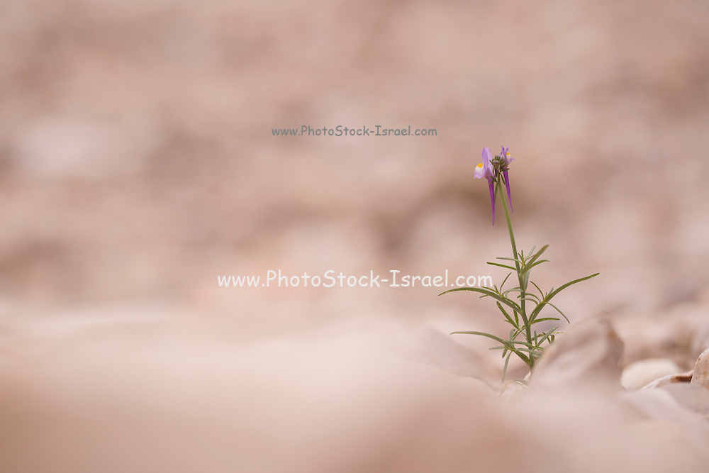 Rainbow Toadflax (Linaria haelava) Photographed in Israel in December