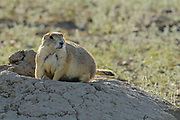 Protected species - the Black-tailed prairie dog (Cynomys ludovicianus) near entrance hole to underground tunnel<br />