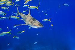 Caribbean reef shark, Carcharhinus perezi, and yellowtail snappers, Ocyurus chrysurus, West End, Grand Bahama, Bahamas, Caribbean Sea, Atlantic Ocean