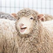 20191201 Winter Sheep