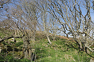 Deciduous woodland on the east side of Lundy