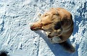 Golden Retriever Lemmy im Tiefschnee in der Naehe der Schneekoppe im Riesengebirge der Tschechischen Republik. Der Golden Retriever ist ein intelligenter, freudig arbeitender Hund, dem auch extreme, nasskalte Witterungsbedingungen nichts ausmachen. Dem steht allerdings eine relativ starke Empfindlichkeit hinsichtlich hoher Temperaturen gegenüber. Grundsätzlich ist die Rasse ruhig, geduldig, aufmerksam und niemals aggressiv.<br /> <br /> Golden Retriever Lemmy in deep snow close to the Snieska Peak at the Giant Mountains in Czech Republic.