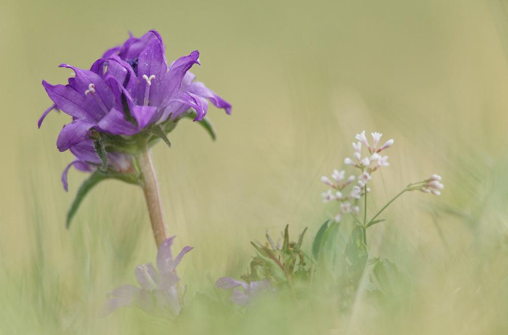Bellflower (Nettle-leaved, Campanula trachelium), Campanulaceae, site de Pileyre, PRN Livradois Forez, Auvergne, France