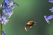 Common Carder Bumble Bee, Bombus pascuorum, in flight, flying through bluebells, UK, high speed photographic technique
