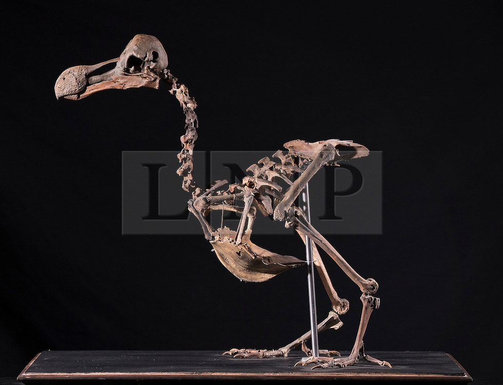 UPDATE: Dodo skeleton sold for £280,000 today. © Licensed to London News Pictures. 17/11/2016. Billingshurst, UK.  A rare dodo skeleton is displayed at Summers Place Auctions ahead of it's sale at their 'Evolution' Auction taking place on November 22, 2016.  Photo credit: Peter Macdiarmid/LNP