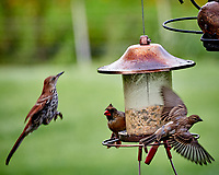 Brown Thrasher, Northern Cardinal, . Image taken with a Nikon D850 camera and 200 mm f/2 lens