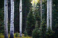 Intimate scene of aspens and spruces in the San Juan Mountains of Colorado, USA