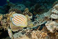 Ornate Butterfly Fish, Chaetodon ornatissimus, Cuvier, 1831, Maui, Hawaii