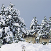 Gray wolf (Canis lupus) pack during winter in Montana. Captive Animal