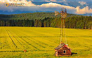 Old windmill sits above flowering field of canola with whitetail deer buck in the Flathead Valley, Montana, USA