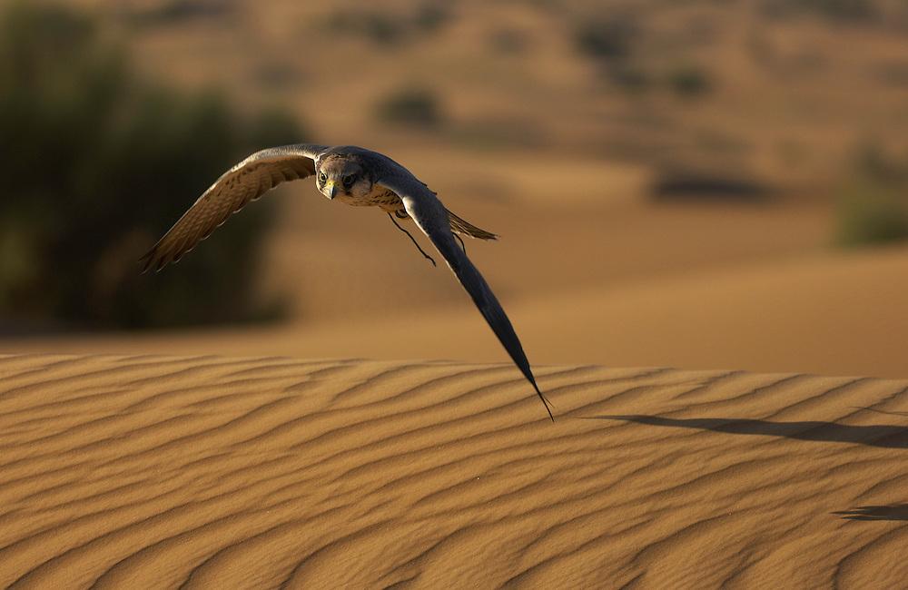 Lanner falcon, Falco biarmicus,  captive, Dubai Desert Conservation Reserve, Dubai
