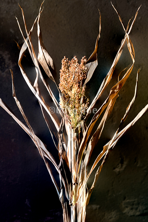 dried brown colored corn seed head still life