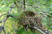 bird nest hawthorn wood pee wee or flycatcher?