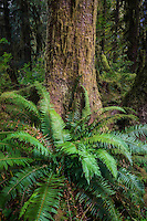 Ferns sprout among the bases of giant trees in the Hoh Rainforest in Washington's Olympic National Park.