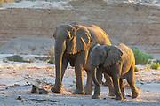 A breeding herd of desert elephants (Loxodonta africana cyclotis) walking through the sandy Hoanib river bed, Skeleton Coast, Namibia