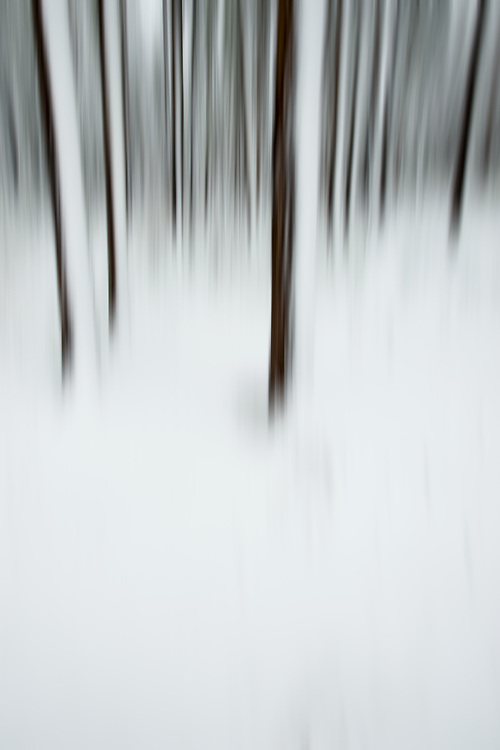 Limited Editions of 8<br /> Winter Trees Blurs Alturas Lake Idaho - Lodgepole Pine Trees wind blown coating of snow