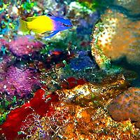 Fairy Basslet, Gramma loreto,Poey 1868, Coral reef Grand Cayman