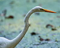 Great Egret (Ardea alba) at the Sourland Mountain Preserve. Image taken with a Nikon D4 camera and 600 mm f/2.8 lens.