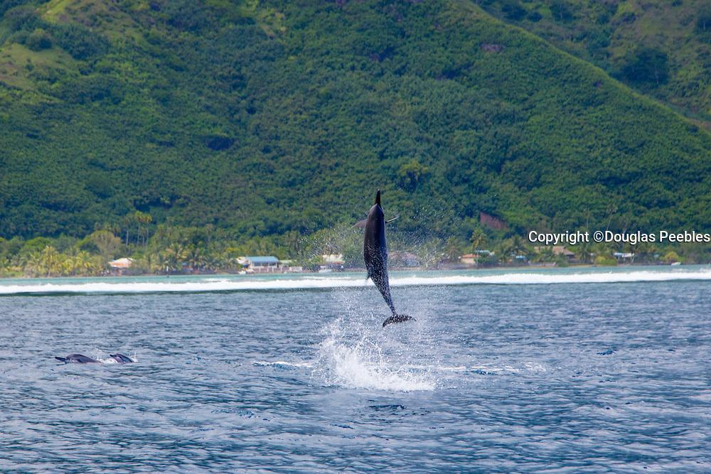 Dolphin, Opunohu Bay, Moorea, French Polynesia