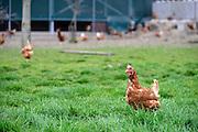 Nederland, Homoet, 21-4-2014Kippenfarm voor leghennen houdt open dag vanwege Pasen. Er zijn vrije uitloop kippen en scharrelkippen.Foto: Flip Franssen/Hollandse Hoogte