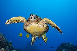 Endangered species, Green Sea Turtle, Chelonia mydas, being cleaned by various reef fish, off Kona Coast, Big Island, Hawaii, Pacific Ocean