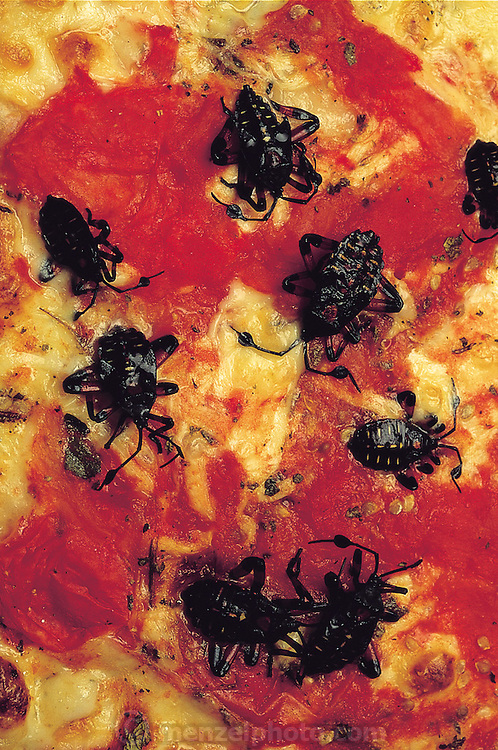 Leaf-footed bug pizza prepared by Julieta Ramos-Elorduy for her son Ernesto, hungry from an extended session of college homework. This is Ernesto's favorite dish. Mexico City, Mexico. (Man Eating Bugs page 119 Bottom)