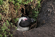 African penguin (Sphenisus demersus) <br /> Bettys Bay<br /> Western Cape<br /> SOUTH AFRICA