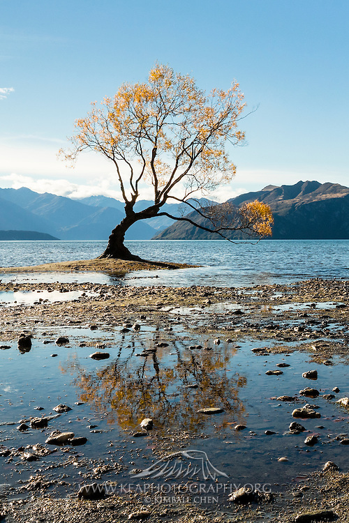 Low tide reflection of the famous golden willow tree at Lake Wanaka, New Zealand