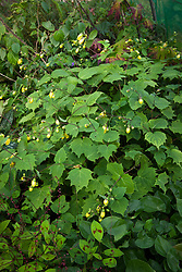 Kirengeshoma palmata dwarf - Yellow wax-bells