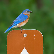 Eastern bluebird (Sialia sialis) perched on color-coordinated trail sign at Bath Pond, NE Ohio. Semifinalist, Nature's Best Backyards 2016.