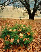 Oak Leaves and Douglas-fir, near Mount Tamalpais, Marin County, California