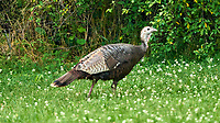 Wild Turkey (Meleagris gallopavo). Image taken with a Nikon D800 camera and 500 mm f/4 VR lens.