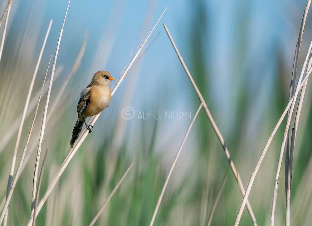 Young male of bearded reedling (Panurus biarmicus) from Vejlerne, northern Denmark in June.