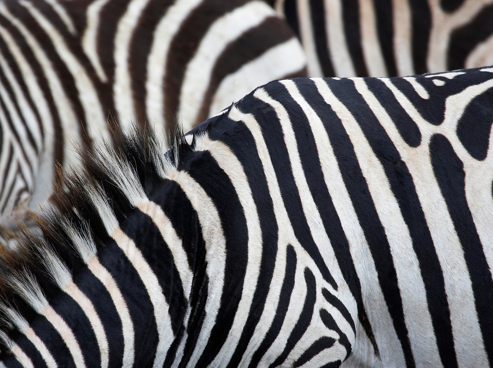 Close up of zebras bodies forming geometric pattern