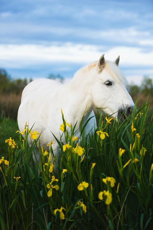 White Camargue horse feeding on tall grass Camargue, France