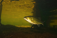 Largemouth Bass (under dock)<br /> <br /> Engbretson Underwater Photography