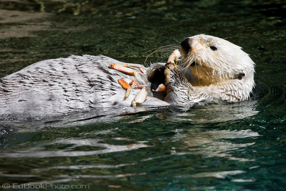 A Sea Otter floats on it's back while dining on crab.