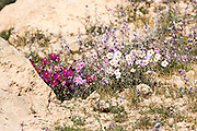Pink and white, Sun-Rose (helianthemum vesicarium) colorful flowering at spring time in the Negev desert , Israel